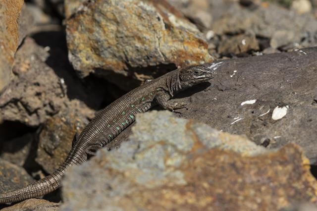 Atlantic Lizard  (Gallotia atlantica) photo