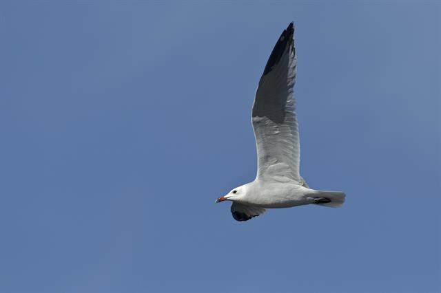 Audouin´s Gull (Larus audouinii) photo
