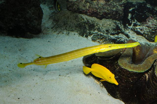 Aulostomus chinensis