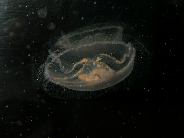 Common jellyfish, Moon Jellyfish (Aurelia aurita)