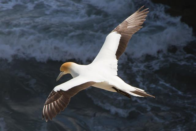 Australasian Gannet (Morus serrator) photo