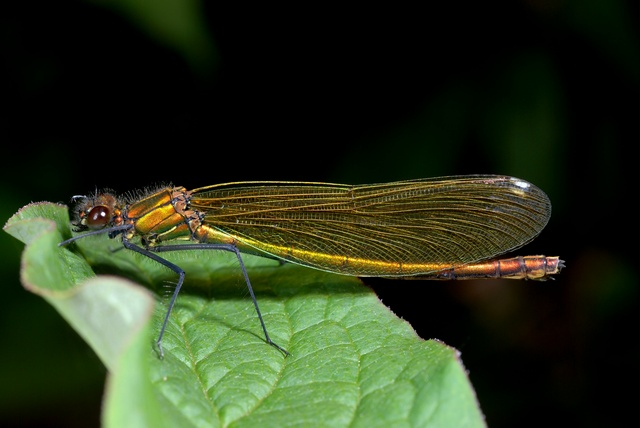 Banded Demoiselle (Calopteryx splendens) photo