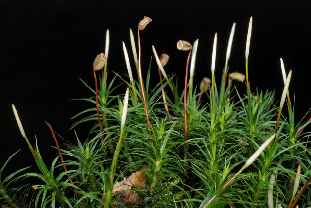 Bank Haircap (Polytrichastrum formosum) photo