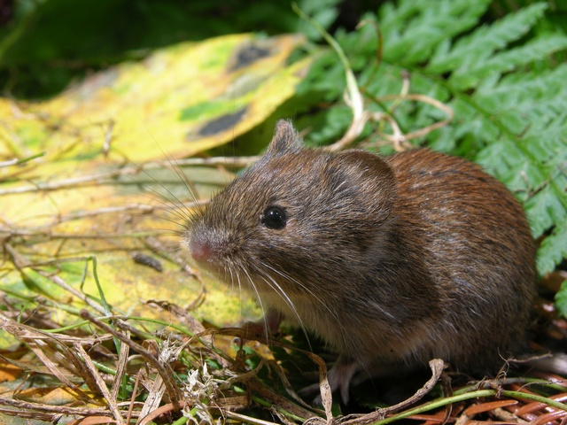 Bank vole (Clethrionomys glareolus) photo