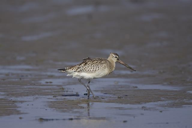 Bar-tailed Godwit (Limosa lapponica) photo
