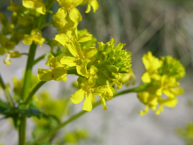 Common Wintercress (Barbarea vulgaris ssp. vulgaris)