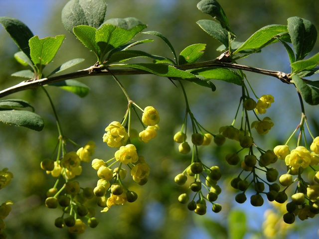 Barberry (Berberis vulgaris) photo