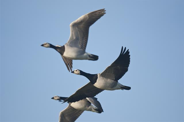 Barnacle Goose (Branta leucopsis) photo