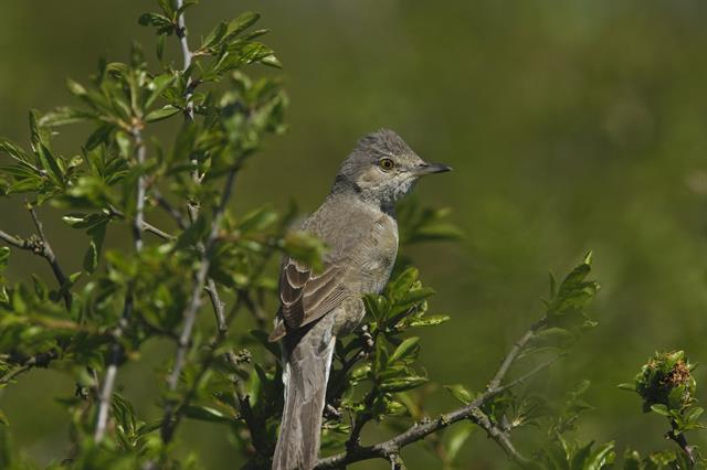 Barred Warbler (Sylvia nisoria) photo