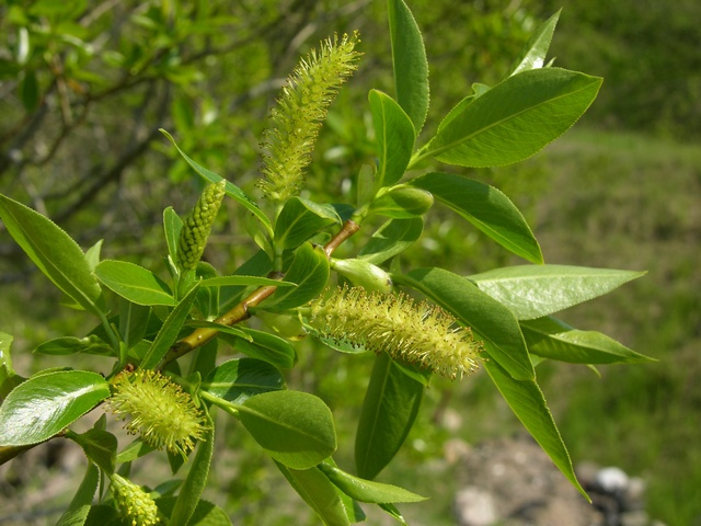 Bay Willow (Salix pentandra) photo