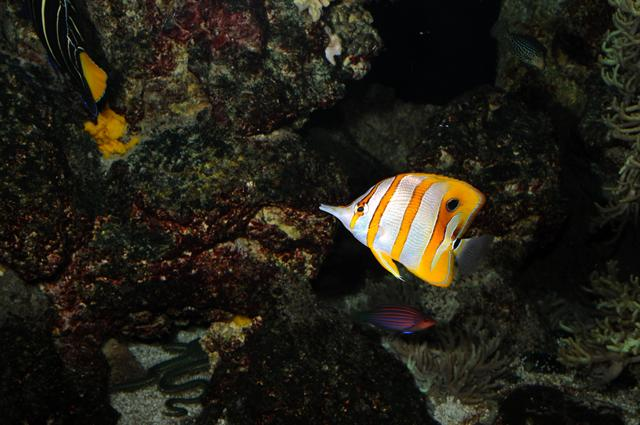 Beaked butterflyfish, Copper-banded butterflyfish (Chelmon rostratus) photo