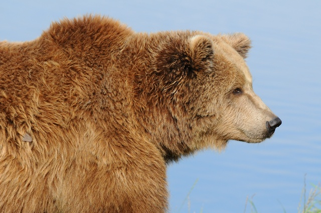 Bear, Brown Bear (Ursus arctos) photo