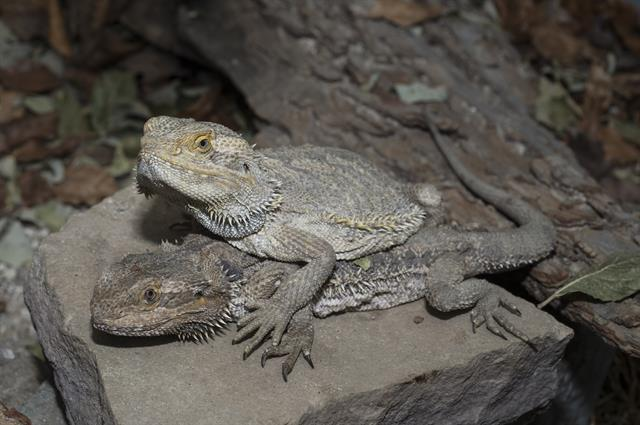 Bearded Dragon (Pogona vitticeps) photo