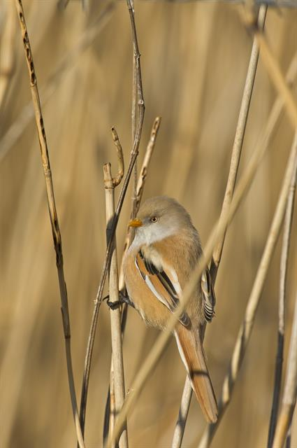 Bearded Tit (Panurus biarmicus) photo