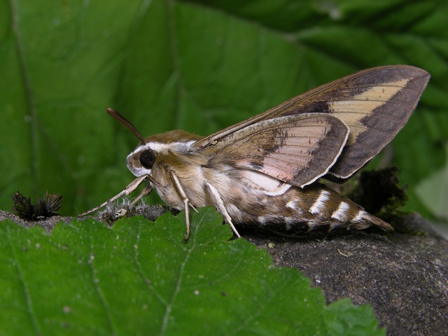 Bedstraw Hawk-moth (Hyles gallii) photo