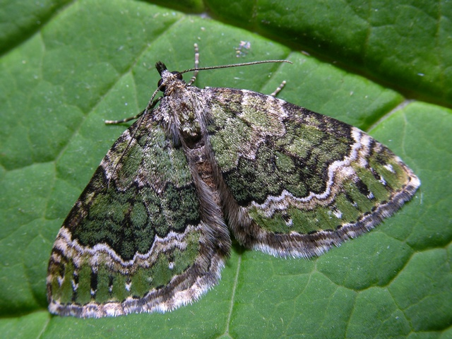 Beech-green Carpet (Colostygia olivata) photo