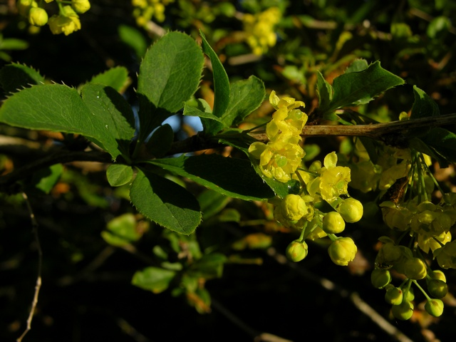 Image of Berberis vulgaris