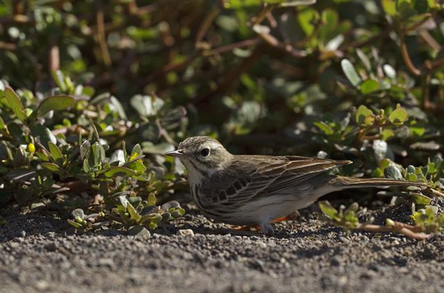 Berthelot´s Pipit  (Anthus berthelotii) photo