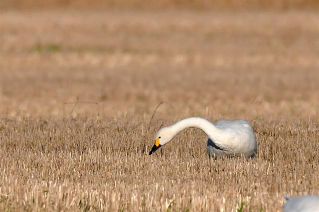 Bewick´s Swan (Cygnus columbianus) photo