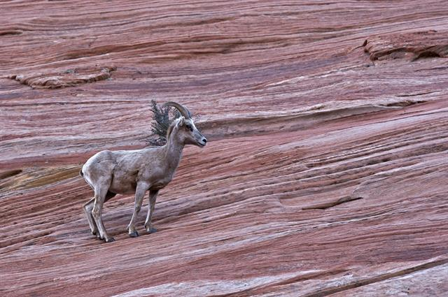 Bighorn Sheep (Ovis canadensis) photo