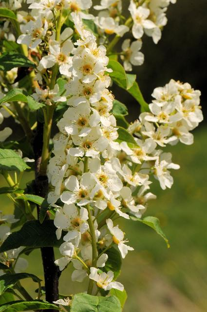 Bird Cherry (Prunus padus) photo
