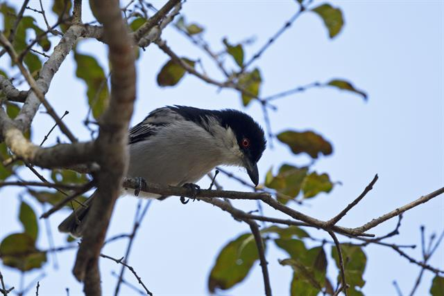 Black-backed Puffback (Dryoscopus cubla) photo