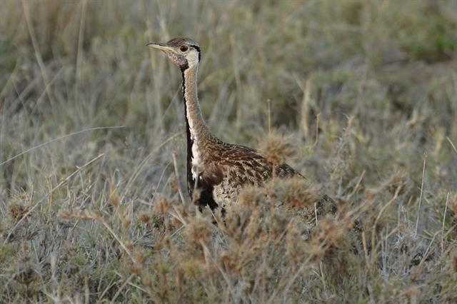 Black-bellied Bustard (Lissotis melanogaster) photo