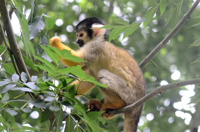 Black-capped Squirrel Monkey (Boliviensis boliviensis) photo