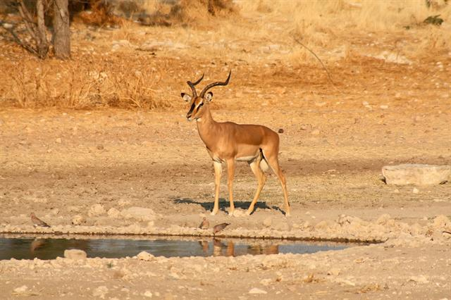 Black-Faced Impala (Aepyceros melampus petersi) photo