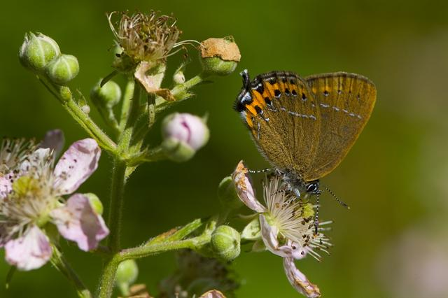 Black Hairstreak (Satyrium pruni) photo