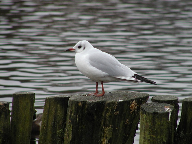 Black-headed Gull (Larus ridibundus) photo