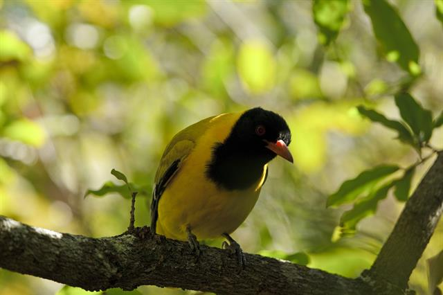 Black-headed Oriole (Oriolus larvatus) photo