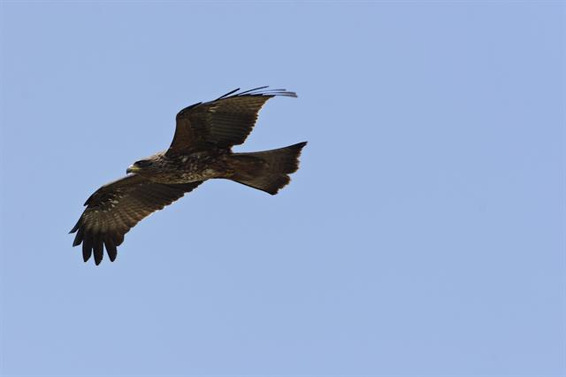 Black Kite (Milvus migrans) photo