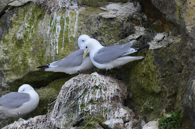 Black-legged Kittiwake (Rissa tridactyla) photo