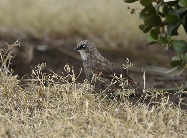 Black-lored Babbler (Turdoides sharpei) photo