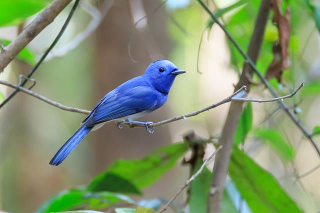 Black-naped Monarch (Hypothymis azurea) photo