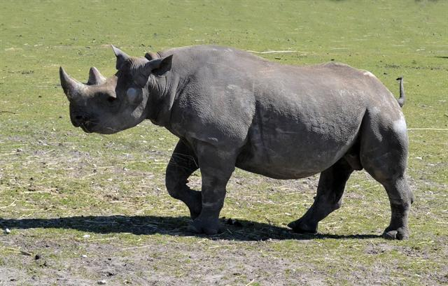 Black Rhino (Diceros bicornis) photo