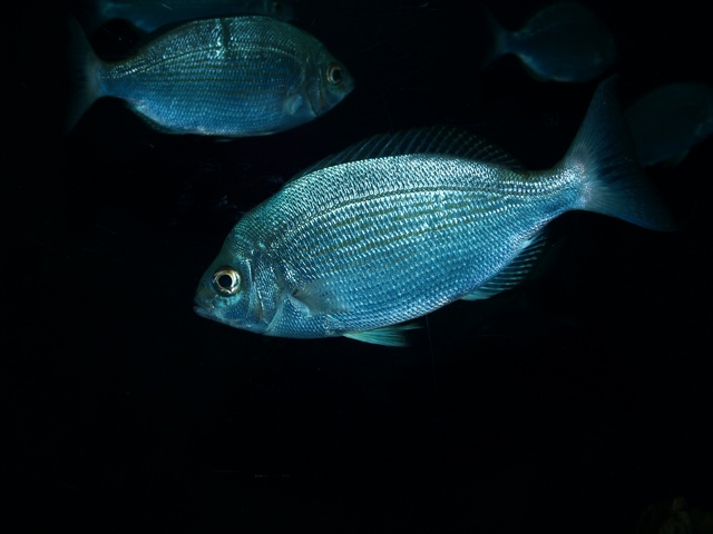 Black seabream (Spondyliosoma cantharus) photo