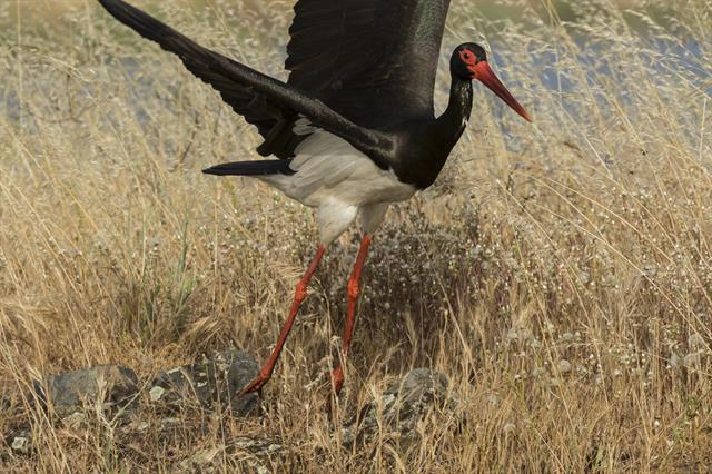 Black Stork (Ciconia nigra) photo