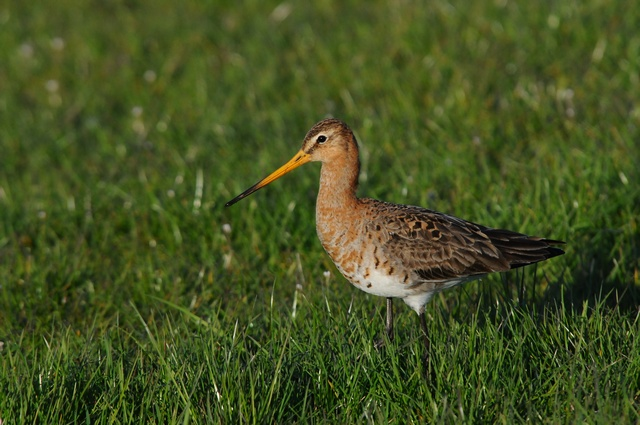 Black-tailed Godwit (Limosa limosa) photo