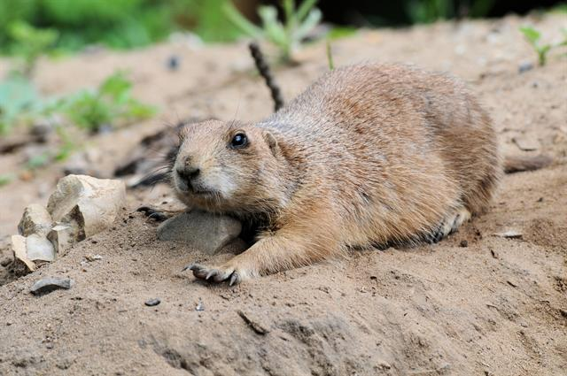 Black-tailed Prairie Dog (Cynomys ludovicianus) photo