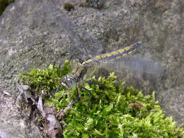 Black tailed Skimmer (Orthetrum cancellatum) photo