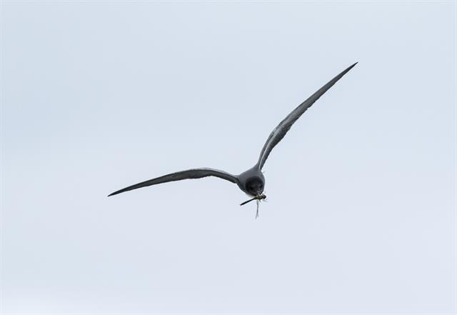 Black Tern (Chlidonias niger) photo