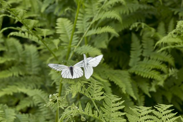 Black-veined white (Aporia crataegi) photo