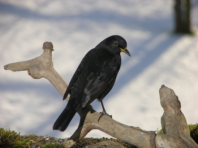 blackbird (Turdus merula) photo