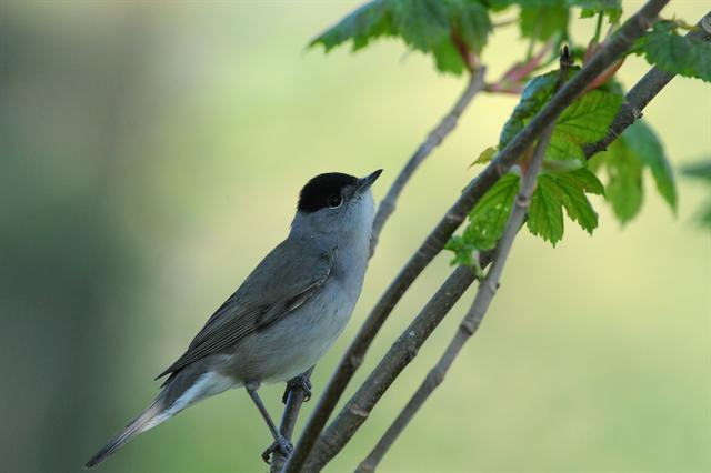 Blackcap (Sylvia atricapilla) photo