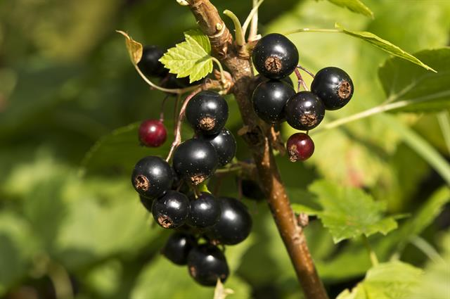 Blackcurrant (Ribes nigrum) photo