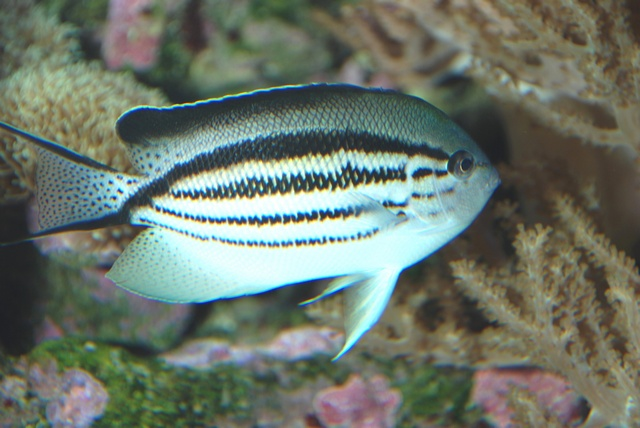 Blackstriped angelfish (Genicanthus lamarck) photo