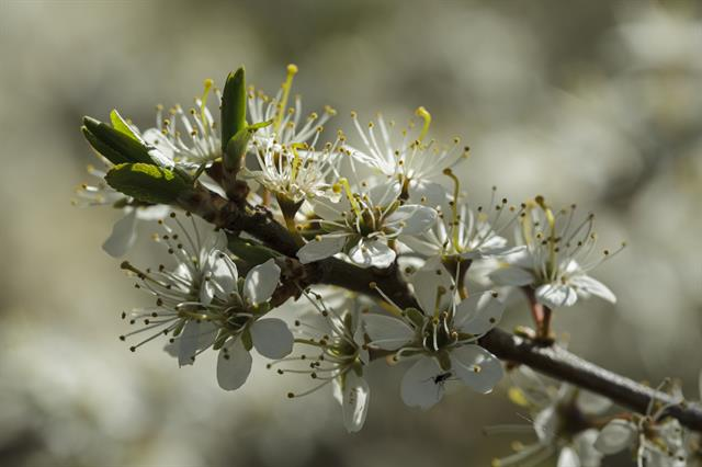 Blackthorn, Sloe (Prunus spinosa) photo