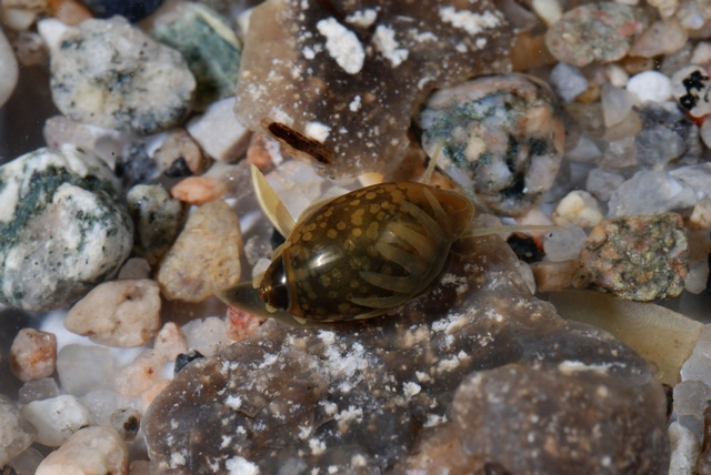 Bladder snail (Physa fontinalis) photo
